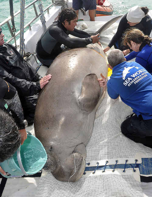 Dugong research being carried out by University of Queensland and Sea World in Moreton Bay.