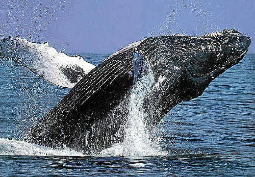 THAR SHE BLOWS: The first sightings of migrating humpback whales off Queensland's east coast.