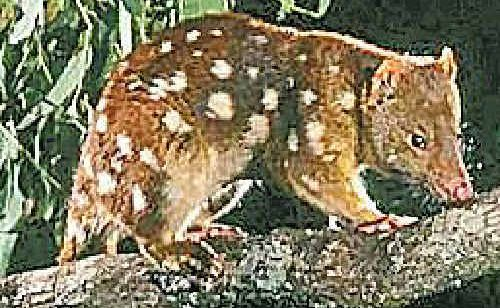 Could the spotted-tailed quoll stop the Cherrabah development?