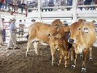 The Australian beef cattle industry will be greatly affected by a live export ban. Photo: File