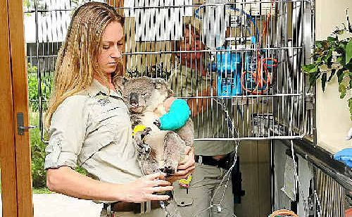 Dr Amber Gillett, wildlife veterinarian at Australia Zoo's Wildlife Hospital, keeps a close watch on a heavily bandaged Julius.