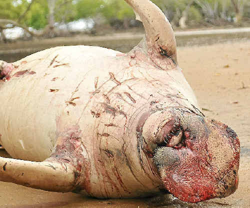 The carcass of the dead male dugong washed up at Seven Mile Creek.