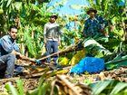 Banana farmers in Holloways Rd, Sandy Beach, Ravjot Singh (left), Binda Singh (centre) and Setnarme Singh with plants damaged in this week's wild weather.