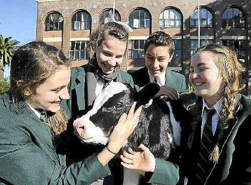 St John's Woodlawn Year 8 students (from left) Teagan McWhirter, Caralie Wilson, Jack Oates and Claire Kelly with a newborn Friesian calf at the Cows Create Careers project.