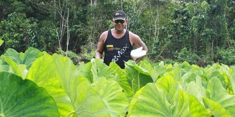 Tony Aholima grows about 106 kinds of taro on his plantation and a variety of banana trees.