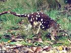 Rare quoll could end mini-city