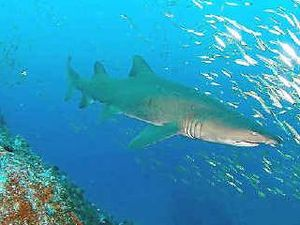Grey nurse shark info discussion