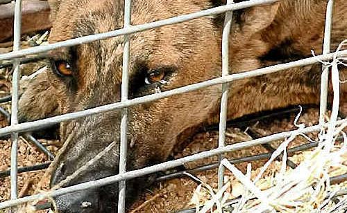 A feral dog that was captured using a cage. Under the NSW Farmers proposal, such dogs would bring a $50 bounty in NSW and Victoria and foxes would bring $10.