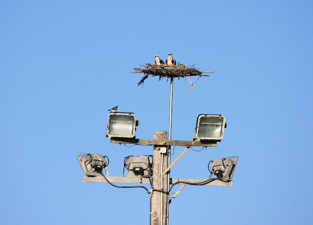 The Osprey pair content in their new home.