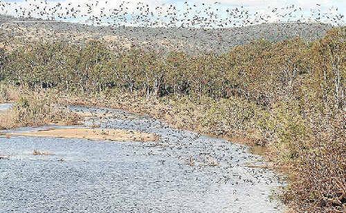 It only takes a little disturbance in Gayndah before bats begin flying out across the Burnett River.