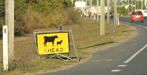 The sign may indicate cows ahead, but it was pigs motorists had to look out for on Sunday afternoon, after 10 were spotted walking along Harbour Road.