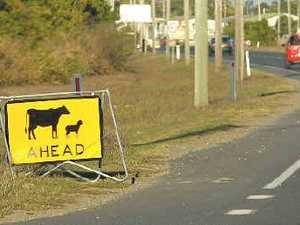 Piggy pedestrians hog the road