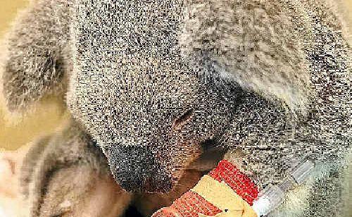 Blair - the luckiest or unluckiest koala in Australia?