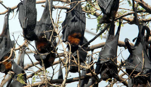 Council is keeping a close eye on bat colonies due to the risk of the deadly hendra virus.