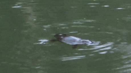Spot a platypus.
