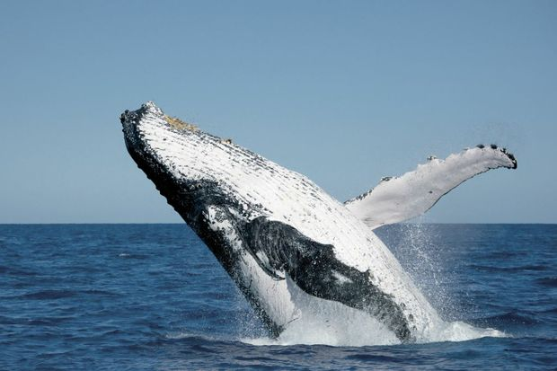 Join a qualified marine biologist for a guided whale-spotting walking tour at Point Lookout on Stradbroke Island.