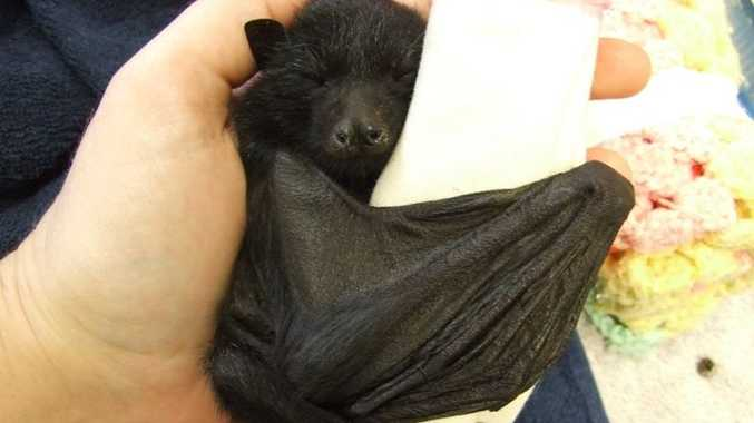 A young flying fox.
