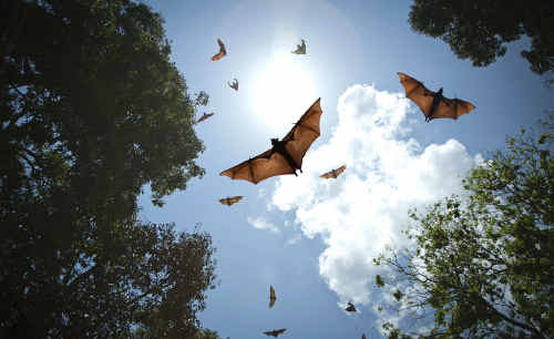 A flying fox colony has taken up residence on a private property in Bargara