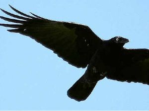 Hunt is on for crow killers