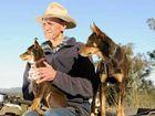 Red Dog wins kudos for kelpies