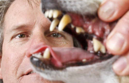 AWL Ipswich head vet Dean Tait is urging people to have their dog's teeth checked during National Pet Dental Health Month.