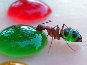 See-through ants change colour