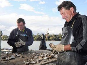 A Bellinger River oyster season to remember