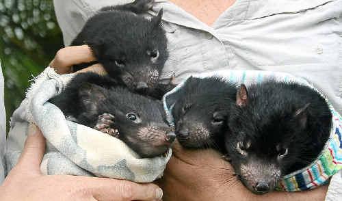 Tasmanian Devil joeys Ebony, Des, Troy, Brian and Raine make their public debut at Australia Zoo.