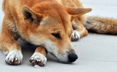 A dingo such as this, died on Wednesday when it was hit by a 4WD on Fraser Island.