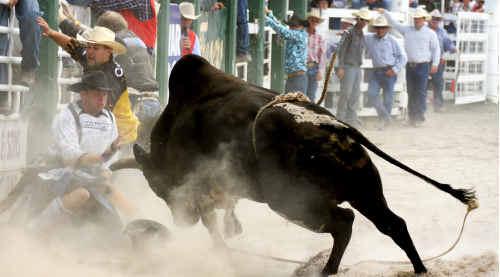 Bullfighter Daniel Roberts protects a fallen rider from a rampaging beast.