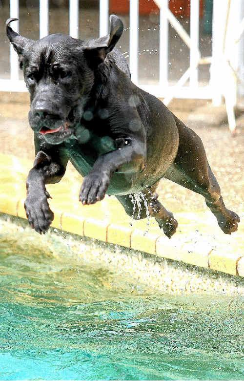 Sheeba, a bull mastiff-ridgeback cross, loves the swimming pool.