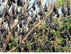 The flying fox colony that has taken up residence beside Woongarra Scenic Dr, Bargara.