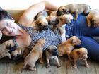 Laura Adams with 12 of the french mastiff cross puppies. Below left, proud mum Huni and one of her litter.