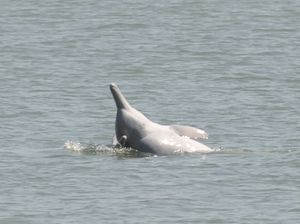 Pesticides found in central Queensland dolphins