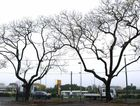A storm yesterday has left Goodna's jacaranda trees without their flowers, leaving doubt as to whether they will form their usual colourful backdrop (right) as this year's Jacaranda Festival.