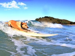 Look, it's a surfing dog