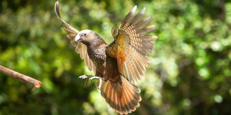 With outstretched wings, the kaka's scarlett and orange markings can be seen.