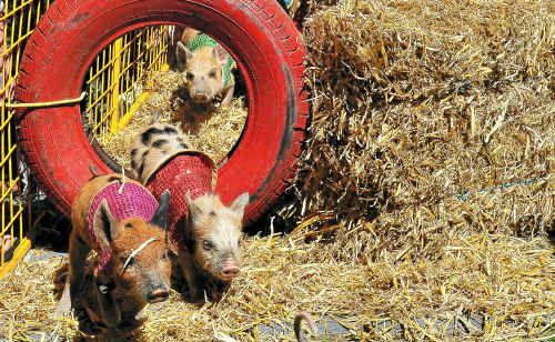 Racing in search of their dinner bowl were these six-week-old piglets at the Seaview Tavern on Sunday.