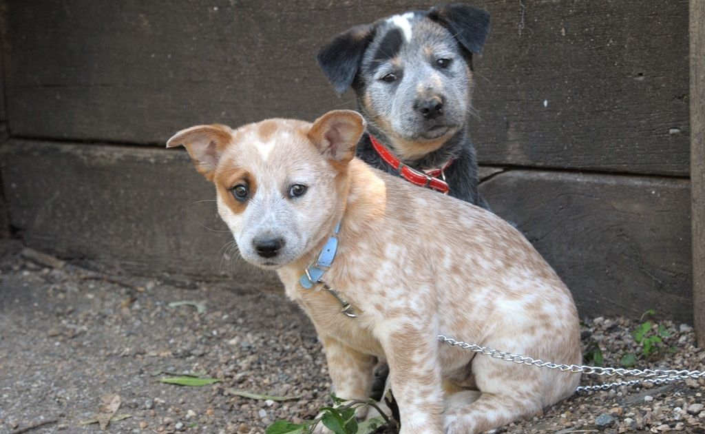 Siblings Princess, front, and Jack the Australian Cattle Dog pups.