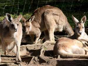 Kangaroo put down after attack