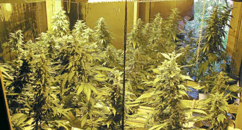 High-grade cannabis valued at $730,000 has been seized by police at a property near Nimbin.