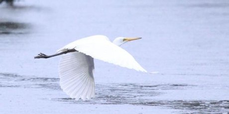 White herons are among more than 70 species of birds in the Okarito Lagoon.