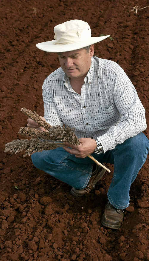 Queensland Government principal plant pathologist Stephen Neate assesses sterile sorghum heads.