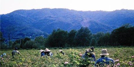 Flower pickers work in the fields of rose de mai in Grasse.