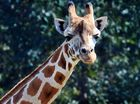 Giraffe are among the special attractions at Africa at Australia Zoo which are attracting plenty of visitors.