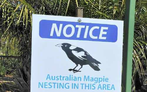 It is that time of the year when the magpies start swooping.