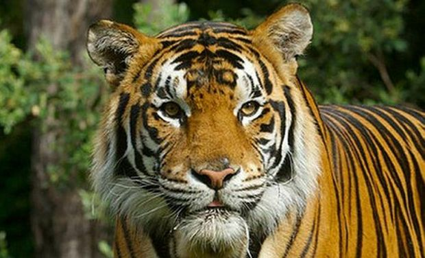 Kato the bengal tiger, which has now been responsible for two attacks on handlers at Dreamworld.
