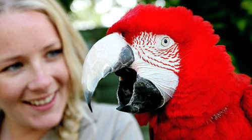 Currumbin Wildlife Sanctuary's Tenielle Matheson shares a joke with Big Bird, a green-winged macaw. The sanctuary is holding a party for the humble bee-keeper who started the famous 'bird park'.