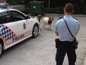 Rogue goats can't escape the law