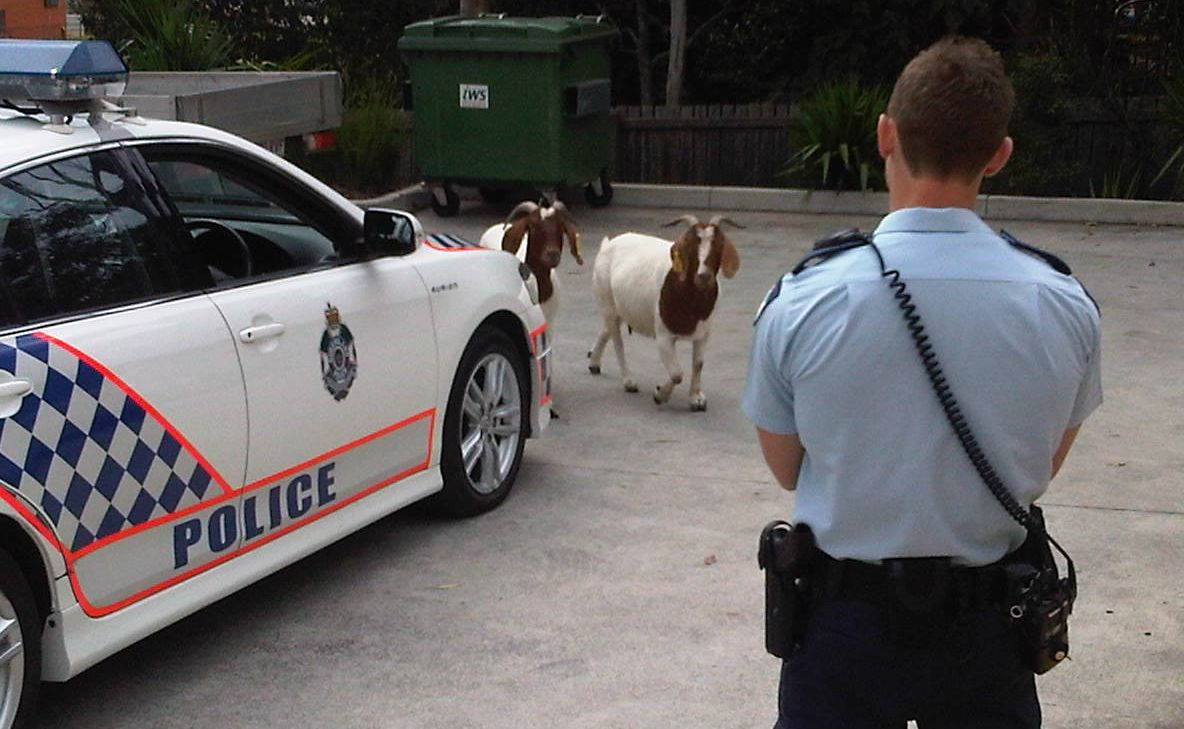Two rogue goats are on the loose in Goodna.